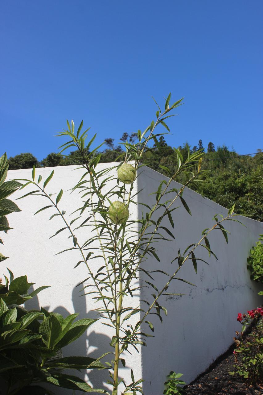 Ferienhaus Casa Nova (1307618), Ribeiras, Pico, Azoren, Portugal, Bild 13