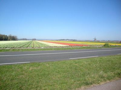 Blumenzwiebelnfelder in Egmond.
